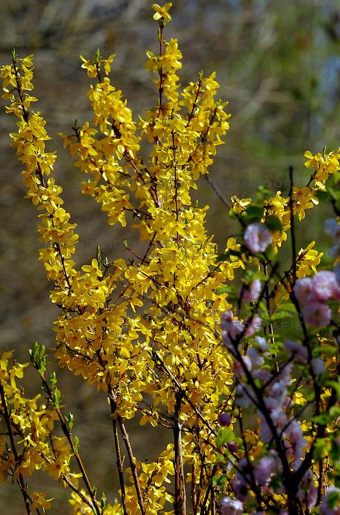 06-04-2007 NATUUR: FLORA EN FAUNA: MAARSSEN<br /> Flora - Prunus en Forsythia / Bloemen en Planten<br /> ©2007-WWW.FOTOHOOGENDOORN.NL
