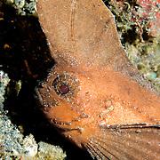 Cockatoo Waspfish, Ablabys taenianotus, at Lembeh Straits, Indonesia.