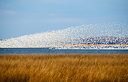 Snow Geese flock rising. Bombay Hook NWR