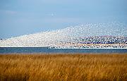 Snow Geese flock rising. Bombay Hook NWR