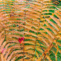 Fall ferns and a maple leaf combine in this image taken in the Sieur du Monts section of Acadia National Park, Maine