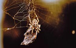 Kruisspin, Araneus diadematus stellatus