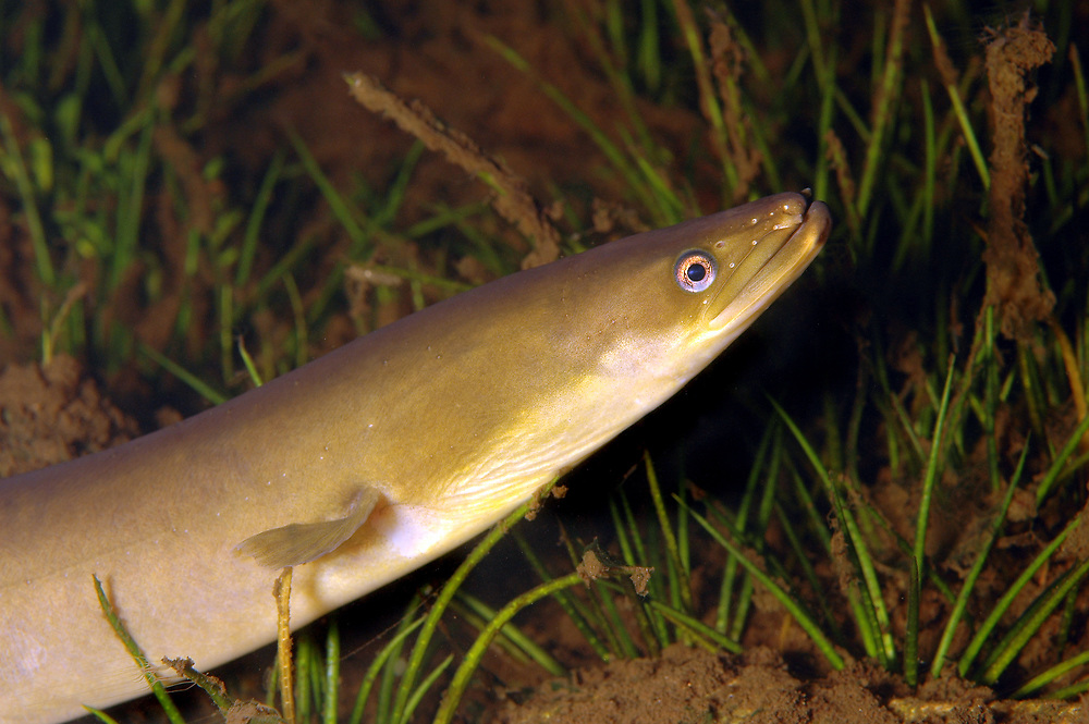 European Eel (Anguilla anguilla). Location : Egersund, Norway