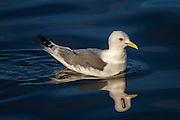 Seagull with a  spooky reflection | Måke med et noe bisarr speilbilde