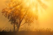 Trees in morning fog<br /> Burwash<br /> Ontario<br /> Canada