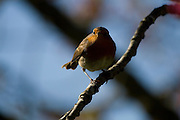 Erithacus rubecula - European Robin looking at the camera while in a cherry tree