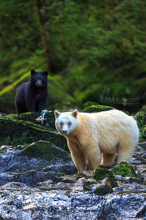 Kermode bear mother with a black cub in the Great Bear Rainforest, BC, Canada