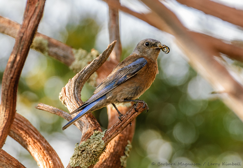 Western Bluebird [Sialia mexicana] female with prey to feed young in nest; Fremont County, Colorado