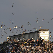 Wood Storks, mycteria americana, american herring gulls, larus smithsonianus or seagulls and turkey buzzards, cathartes aura, feed at the Solid Waste Authority's refuse dumps in West Palm Beach, Florida. <br /> Photography by Jose More