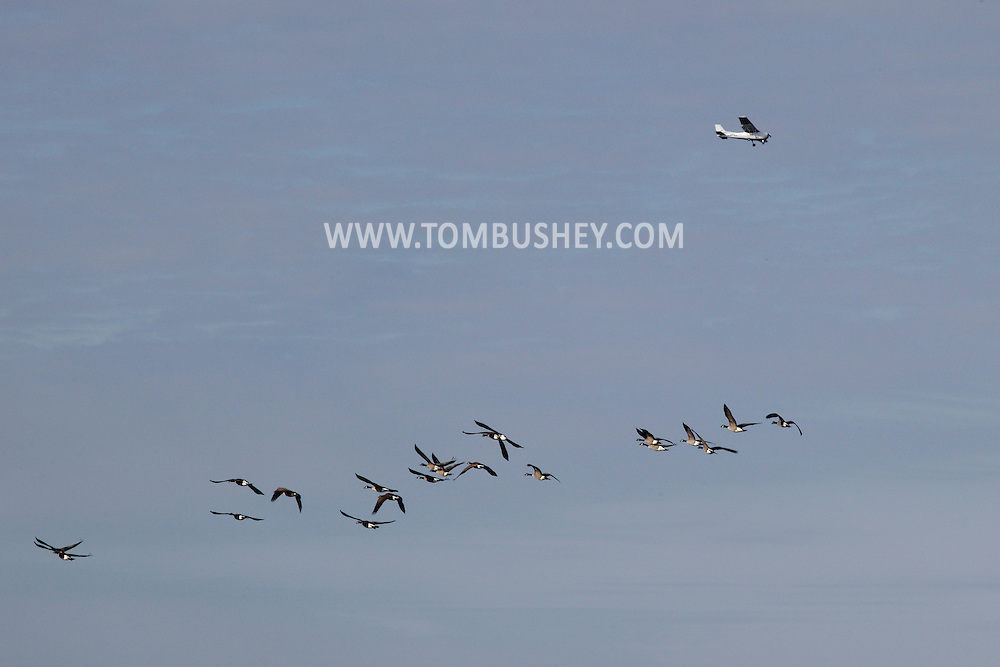 Hamptonburgh, New York - A flock of Canada geese fly below a small airplane on Nov. 21, 2010.