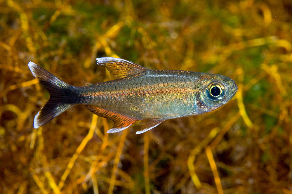 Moenkhausia sp., a small tetra part of the Characin family of freshwater fish found throughout Brazil. Photographed in a clear-water spring in the state of Mato Grosso, Brazil.