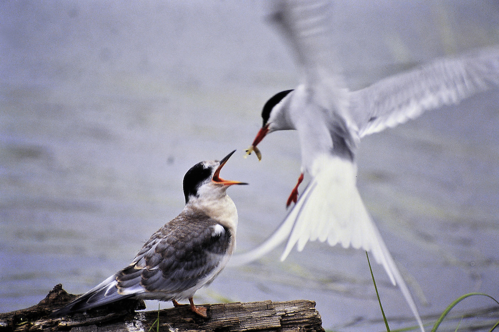 A chick is fed a shrimp on the fly by its parent. Migration. Alaska