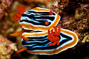 Magnificent Chromodoris (Chromodoris magnifica) in Komodo National Park, Indonesia