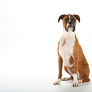 Boxer dog, horizontal, copy space