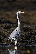 Posing Gray Heron   Gråhegre som poserer