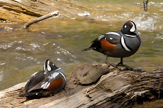 Harlequin Duck, Histrionicus histrionicus) Pair, Male in water. Yellowsotne National Park.