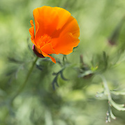 Orange poppy surrounded by greenery in the background.