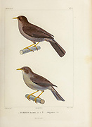 hand coloured sketch Top: great thrush (Turdus fuscater) Bottom: Chiguanco thrush (Turdus chiguanco) From the book 'Voyage dans l'Amérique Méridionale' [Journey to South America: (Brazil, the eastern republic of Uruguay, the Argentine Republic, Patagonia, the republic of Chile, the republic of Bolivia, the republic of Peru), executed during the years 1826 - 1833] 4th volume Part 3 By: Orbigny, Alcide Dessalines d', d'Orbigny, 1802-1857; Montagne, Jean François Camille, 1784-1866; Martius, Karl Friedrich Philipp von, 1794-1868 Published Paris :Chez Pitois-Levrault et c.e ... ;1835-1847