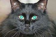 Black cat with green eyes looking at you.