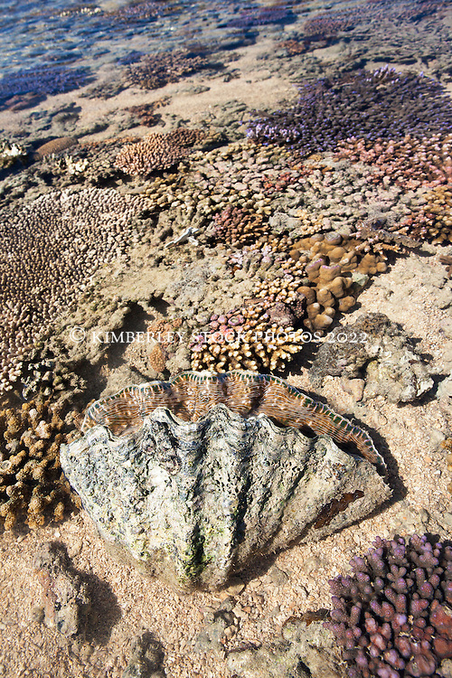 A giant clam (Tridacna sp.) on Montgomery Reef in Camden Sound.   Montgomery Reef is Australia's largest inshore reef at nearly 300 square kilometers.