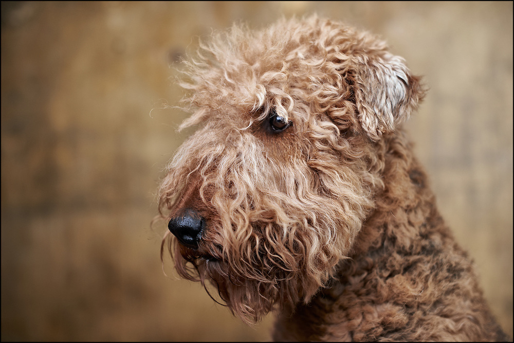 Airedale Terrior Rocky