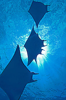Mobula Rays and Sunburst.2007 Highly Commended ANZANG Wildlife Photographer of the Year