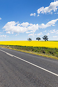 rural road next to field of flowering canola crop under blue sky and cumulus cloud near Cudal, News South Wales, Austraila.
