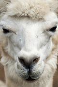 Alpaca portrait, Island Alpaca, Martha's Vineyard