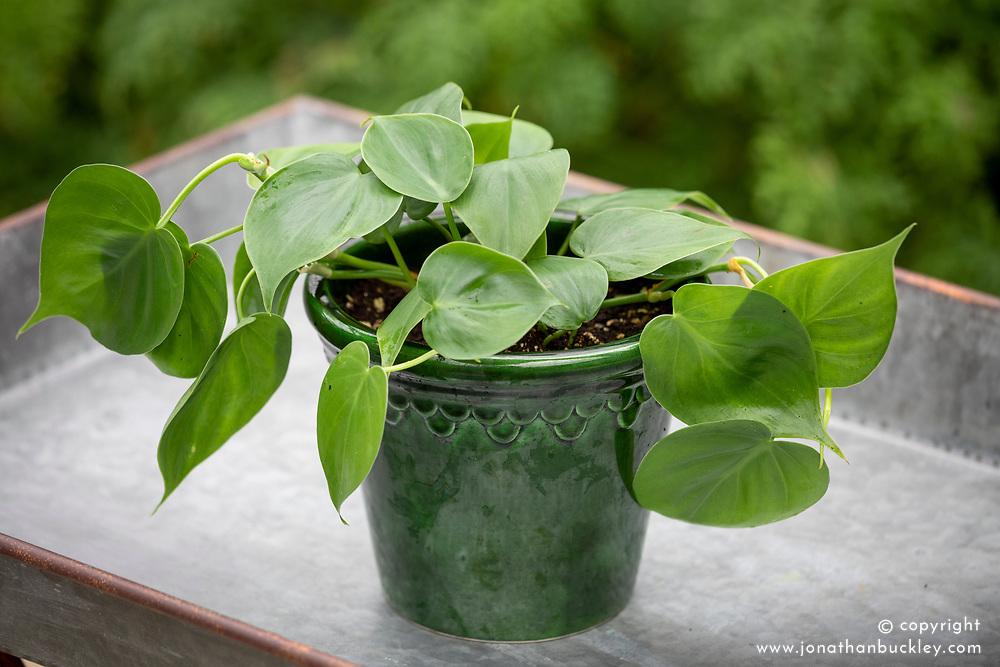Epipremnum pinnatum  - Scindapsus - Pothos Green Jade in green glazed pot. Josie says this has several names. Common name Devil's Ivy?