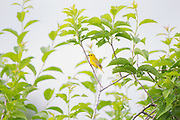 Stock photo of yellow warbler photographed in Colorado.  These birds migrate mostly at night. The fall migration is very early. Many start flying south as early as August.