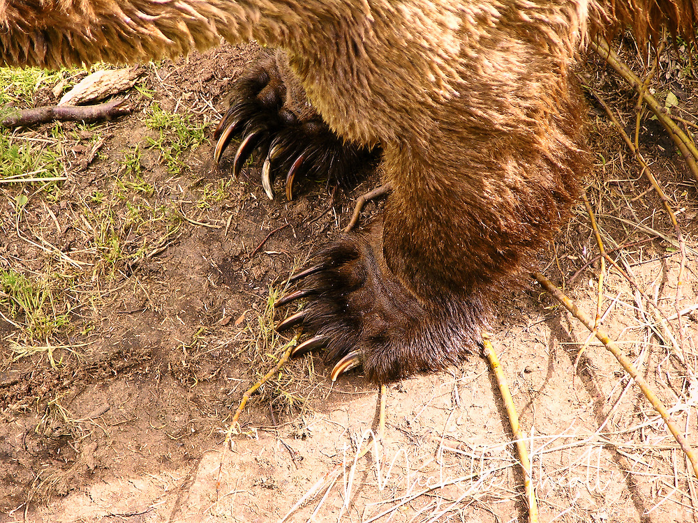 Massive bear paws just beneath a viewing platform at Katmai NP