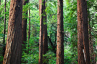 The World's Southernmost Coast Redwood Trees (Sequoia semperivens) are in the Big Sur Region Pfeiffer Big Sur State Park, California