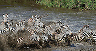 Zebras running in group from watering hole