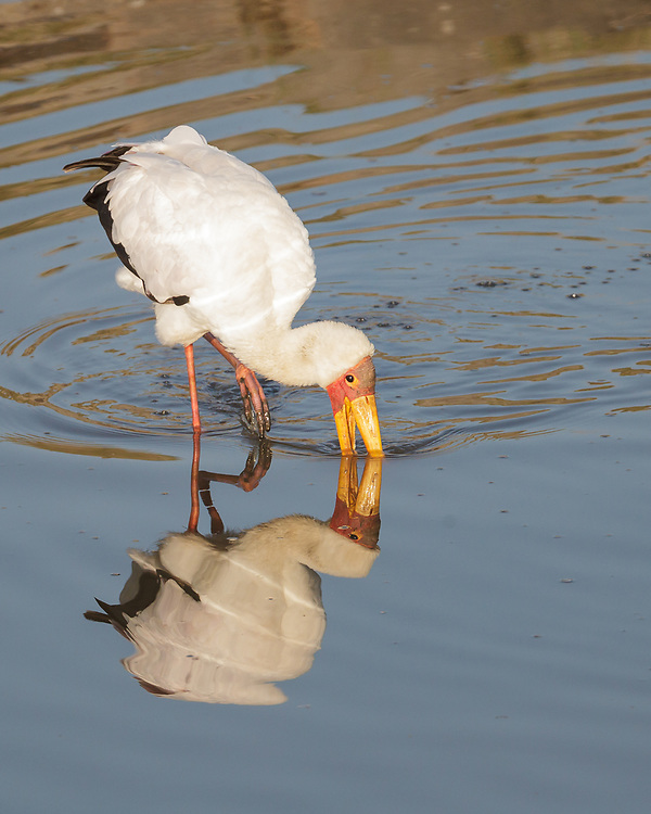 Mycteria ibis, Kenya