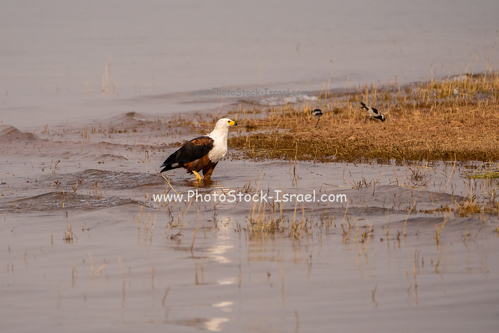 African fish eagle (Haliaeetus vocifer) in a water pond. This bird is found in sub-Saharan Africa near water. The female, the larger of the sexes, has a wingspan of up to 230 centimetres. The African fish eagle spends most of the day perching in a high tree near water. From this perch it will swoop down on fish, catching them with its feet. Although the majority of its diet consists of fish, the African fish eagle also feeds on flamingos and other water birds, as well as carrion. Photographed at Lake Kariba, Zimbabwe