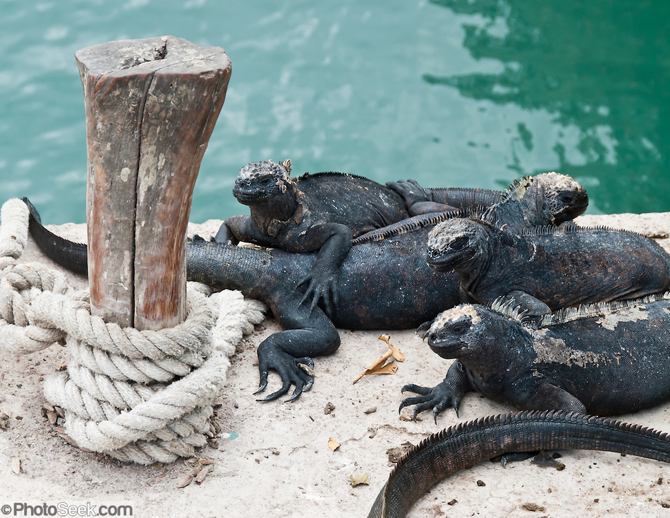 Galapagos Marine Iguanas (Amblyrhynchus cristatus) bask at Puerto Ayora, capitol of Santa Cruz Island and the largest town in the Galápagos Islands, Ecuador, South America. The Marine Iguana is the world's only sea-going lizard and is found only on the Galapagos Islands (spread throughout the archipelago). They feed almost exclusively on marine algae, expelling the excess salt from nasal glands while basking in the sun, coating their faces with white. Marine Iguanas live on the rocky shore or sometimes on mangrove beaches or marshes. Most adults are black, some grey, and the young have a lighter colored dorsal stripe. The somber tones allow the species to rapidly absorb the warm rays of the sun to minimize the period of lethargy after emerging from the frigid water, which is cooled by the Humboldt Current. Breeding-season adult males on the southern islands are the most colorful and will acquire reddish and teal-green colors, while Santa Cruz males are brick red and black, and Fernandina males are brick red and dull greenish.