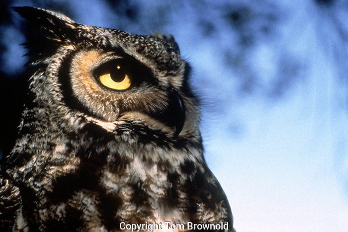 The eyes of a Great Horned owl