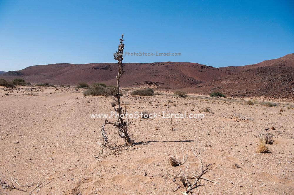 Desert plant survives in the harsh arid Namibian landscape. Skeleton Coast, Namibia