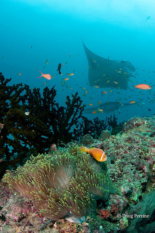 giant anemone, Heteractis magnifica, with blackfoot anemonefish, Amphiprion nigripes ( endemic to Maldives and Sri Lanka ); reef manta rays, Manta alfredi (formerly Manta birostris ) in background; Dharavandhoo Thila, Baa Atoll, Maldives ( Indian Ocean )