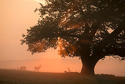 20/09/2015. Richmond, UK .Early in the morning at Richmond park in West London as Autumn approaches. . Photo credit : Ian Schofield/LNP