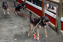 Sled dogs, Dredge Town, Skagway, Alaska, United States of America
