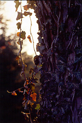 Thorndale ivy grows up the side of a maple tree. Note: This image was originally produced on film and scanned to produce a digital file.  Some dust may be visible from that scan