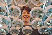 Genetically engineered tomato plants. Geneticist Dr Virginia Ursin examines cultures of Flavr Savr tomato plants; the first genetically engineered whole food. Each dish contains seedlings cultured from a single cell, grown on agarose medium. Flavr Savr tomatoes have a gene that allows the fruit to ripen on the vine without softening; so they are tastier, don't need ripening with ethylene gas, and are not damaged during shipping. Tomato softening occurs due to the enzyme polygalacturonase. Flavr Savr tomatoes contain an anti-sense gene that blocks the enzyme. This tomato entered American supermarkets in 1994 but was withdrawn from the marketplace by Monsanto (which bought Calgene in 1997). Research at Calgene, California, USA. MODEL RELEASED [1995]