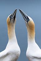 Basstölpel Paar; Bass Rock, Schottland