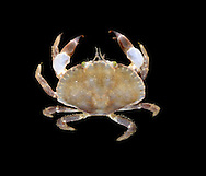 Edible Crab - Cancer pagurus - Juvenile