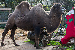 London, UK. 20th December, 2018. Bactrian camel Noemie enjoys breakfast served in a super-sized festive stocking specially prepared by keepers at ZSL London Zoo.