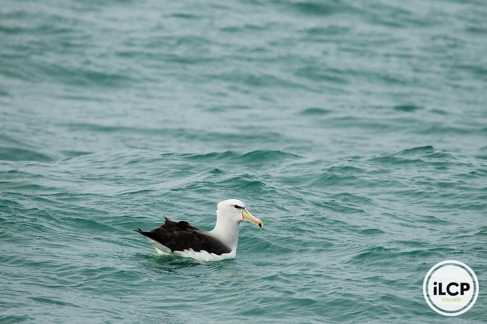 Salvin's Albatross (Thalassarche salvini) on water, Kaikoura, South Island, New Zealand
