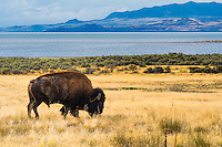 A bull American bison at dusk grazes on Antelope Island with Great Salt Lake getting darker by the minute in the background.
