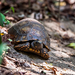 """Jabuti-tinga (Chelonoidis denticulata) fotografado em Linhares, Espírito Santo -  Sudeste do Brasil. Bioma Mata Atlântica. Registro feito em 2014.<br /> <br /> <br /> <br /> ENGLISH: Yellow-footed tortoise photographed in Linhares, Espírito Santo - Southeast of Brazil. Atlantic Forest Biome. Picture made in 2014."""