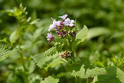 Wilde judaspenning, Lunaria rediviva